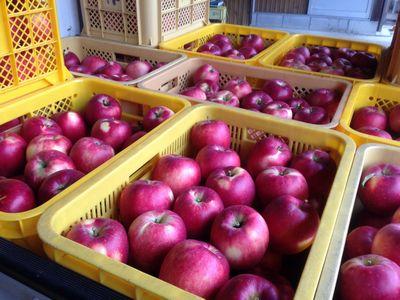 収穫したりんご