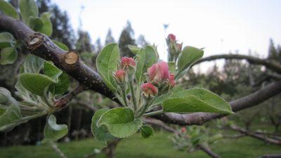 りんごのつぼみ