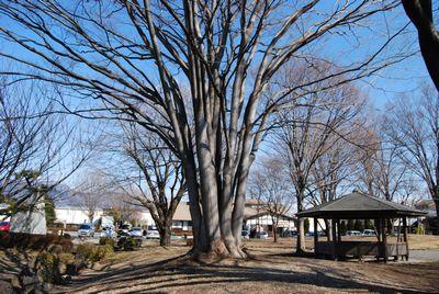 たくましい木