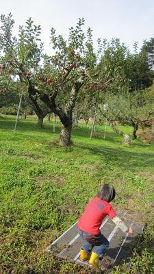 りんご畑と青空