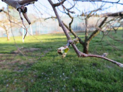 りんごの芽